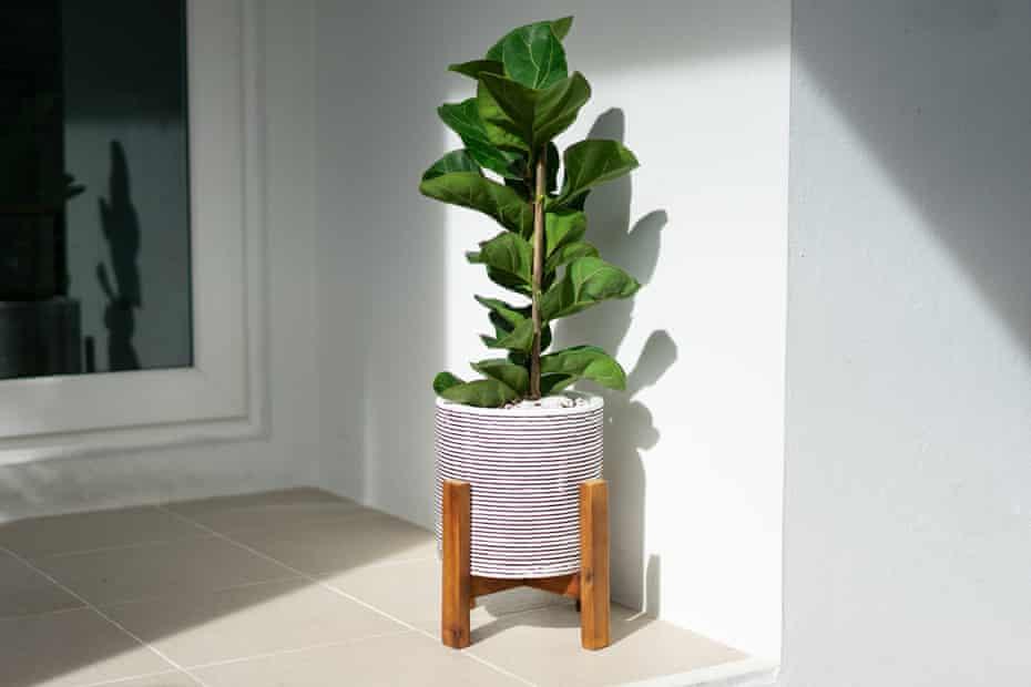 the Ficus lyrata  houseplant