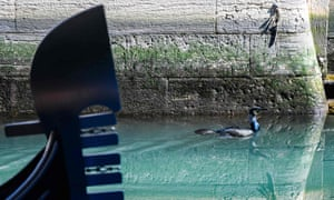 A seabird swims across unusually clear waters by a gondola in a Venice canal.