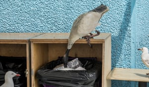 An ibis demonstrates how its long beak and bald head allow it to reach deep into trash receptacles while two seagulls look on with assumed envy