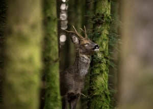 Roe deer by Jason Parry Wilson