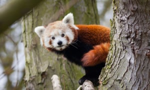 Look out, there's a panda about. Masala the red panda is on the loose in northern California.