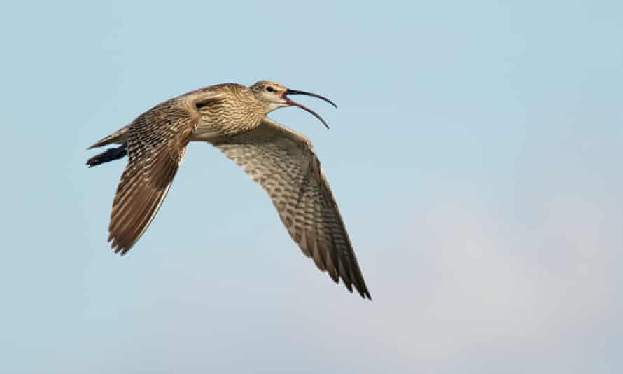 Whimbrel or Numenius phaeopus in flight