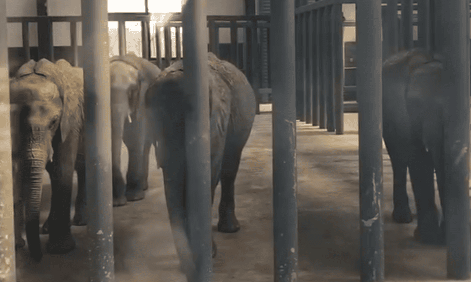 A scene from the video of recently imported elephants from Zimbabwe, taken at Hanghzhou Safari Park in March.