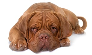 Dogue de bordeaux: once the most expensive breed.