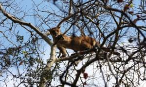 California mountain lion in tree