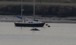 The whale seen in the Thames on 7 October.