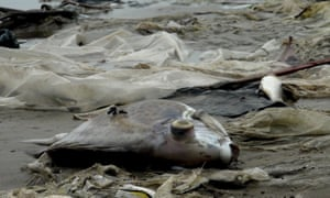 Dead fish lie on the shore in Quang Trach district, Quang Binh province, Vietnam
