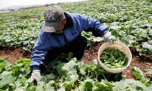 Palestinian farmers harvest cucumbers in their land in the West Bank city of Jenin