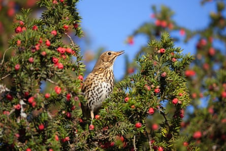 A song thrush in a yew tree
