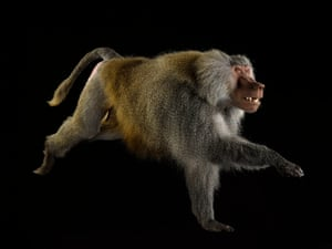 Hamadryas baboon – least concernBaboons spend much of their time on the ground to find food. They have long legs, but short fingers and toes for sprinting. A narrow chest and long rectangular shoulder blades on the side of the body allow their arms to swing back and forth, helping them dash quickly to safety.