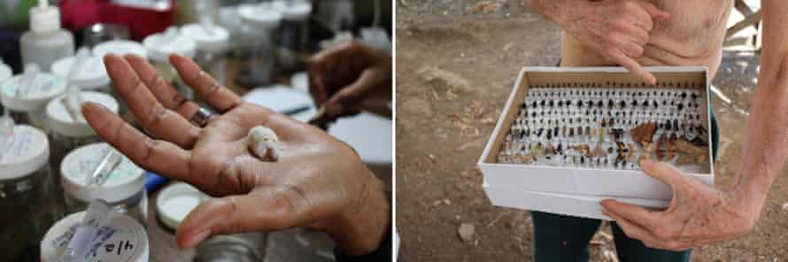(Left) Gloria, a parataxonomist, holds a larva that has been killed by parasitoids. (Right) Janzen points to a box of insects collected in the ACG that have been dried and preserved.