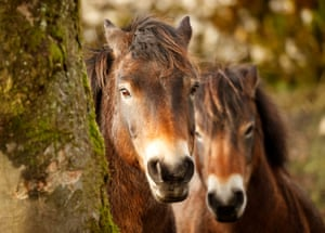 Exmoor ponies released in the Yorkshire Dales, UK. The ponies are part of a conservation project by the National Trust to tackle invasive plant species