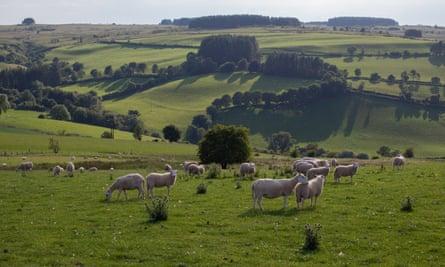 A field of sheep is observed close to Machynlleth, North Wales. Britain Beyond Lockdown. Wales is adapting to the new rules with of engagement in the aftermath of the Covid 19 virus.