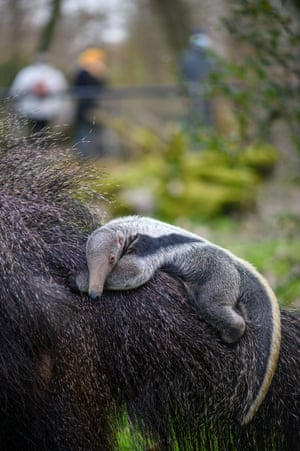 An anteater cub clings to its mother, Estrella, at Magdeburg Zoo in Magdeburg, Germany.