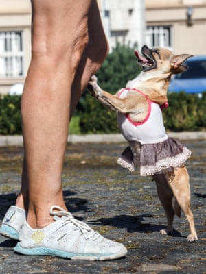 Uzhhorod, Ukraine: A Chihuahua in a dress leans against the leg of an activist during a nationwide march for animal rights