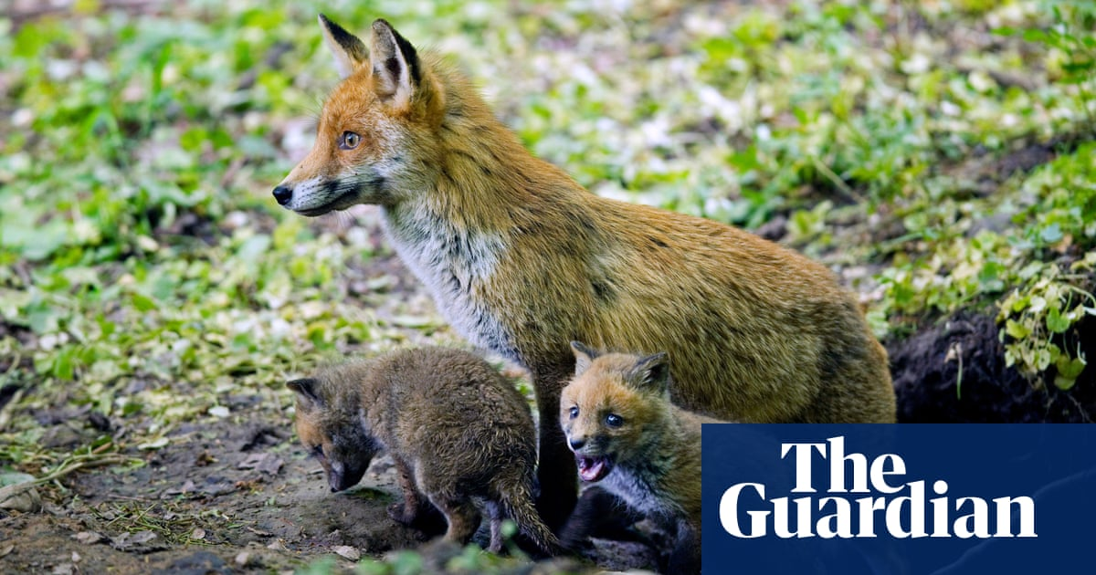 Don't always blame the fox says flockmaster: Country diary, 29 April 1946