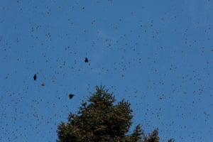 Monarch butterflies fly near a tree at the Sierra Chincua butterfly sanctuary on a mountain in Angangeo, Michoacán.