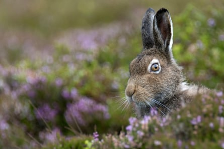 A mountain Hare (Lepus Timidus) in the Scottish Highlands.