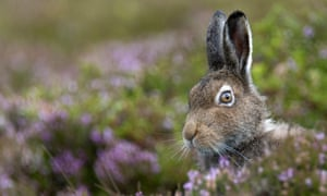 A mountain hare amid heather, high on the moors.