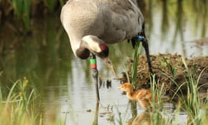 Scientists predict that there could be as many as 275 breeding pairs common cranes within 50 years.