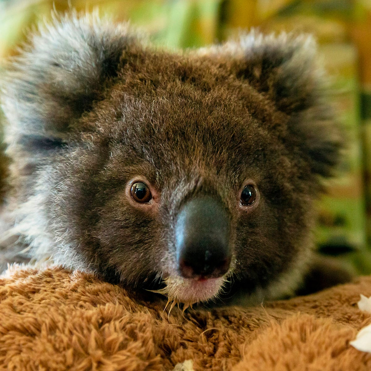 Relocating Koalas To New Zealand Is A Nice Idea But It Isn T A Good One James Russell Australia News The Guardian