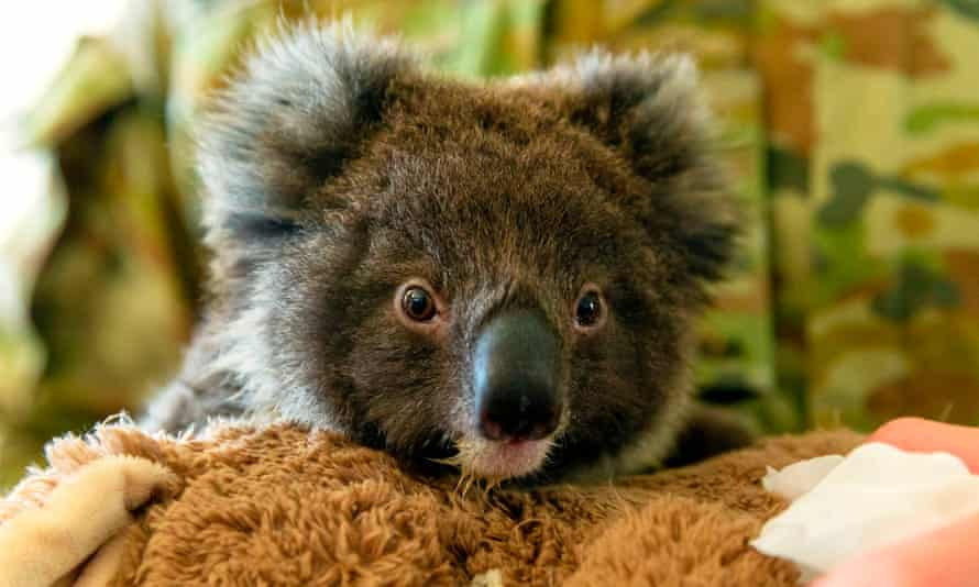 An orphaned baby koala at the Kangaroo Island wildlife park in Kingscote, which was devastated by bushfires in January