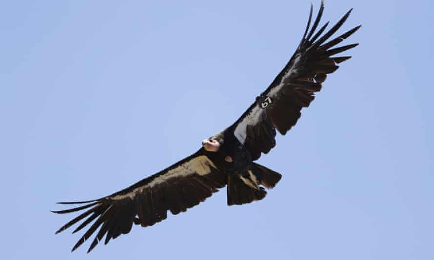 The California condor's reintroduction has been led by the Yurok Tribe.