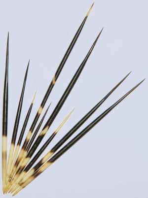 Karp has developed a new type of surgical staple inspired by porcupine quills.
