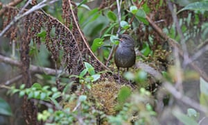 The Taliabu grasshopper-warbler, one of the five new species discovered. The majority of the birds identified by the study were discovered on islands' little-explored highlands.