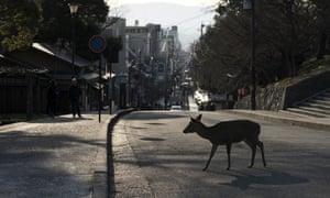 A sika deer crosses a road in Nara, Japan.