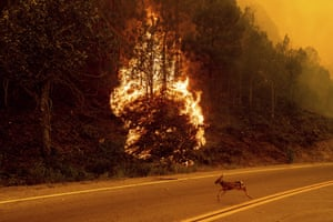An animal sprints across a road as the Sugar Fire, part of the Beckwourth Complex Fire, burns in Plumas National Forest, California. Wildfires bought on by extreme heatwaves have engulfed nearly a million acres across the US west