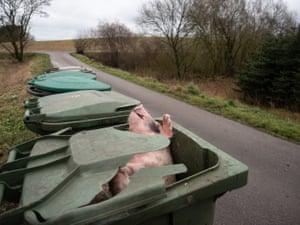 Body of a dead piglet in a rubbish bin