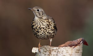 The mistle thrush (<em>Turdus viscivorus</em>) earned its rural name of stormcock from its far-reaching song heard even in stormy weather.