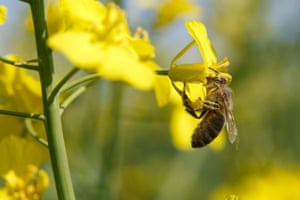 A honey bee collects pollen from a flowering oilseed rape in Nagyrecse, Hungary