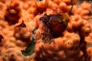 Blenny fish in a dead barnacle shell