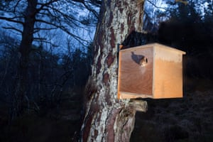 British Wildlife Photography Awards 2017: Peter Cairns' remote camera shot of a red squirrel emerging from a transit box following its translocation from Moray to Plockton, Scotland