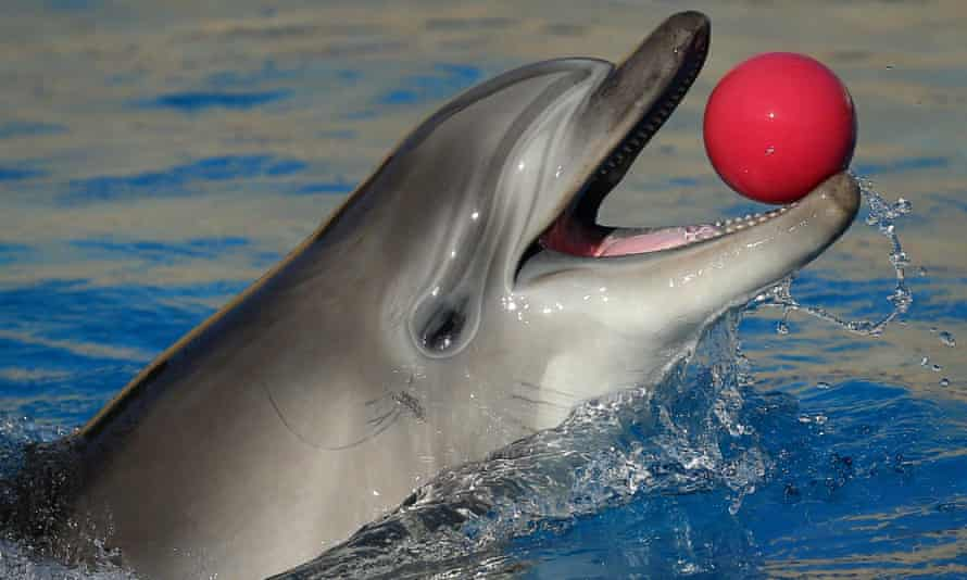 A bottlenose dolphin plays with a ball at the dolphinarium on 30 March 2014 in Crimea.