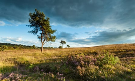 Much of Ashdown Forest is actually heath, dominated by pine, heather and gorse.