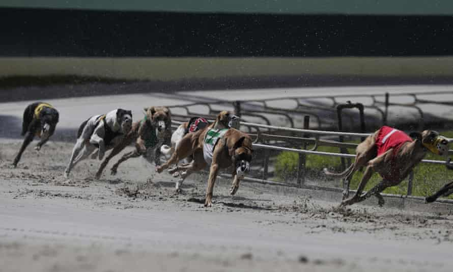 Greyhounds in action at the Palm Beach Kennel Club