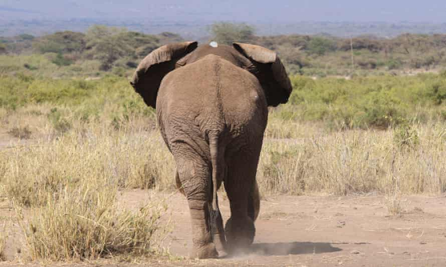 Elephant Tim walks off after having a tracking collar fitted in Amboseli National Park, Kenya, on 10 September 2016.