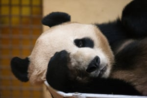 "Yang Guang is the UK's only male giant panda. His name means ""Sunshine"""