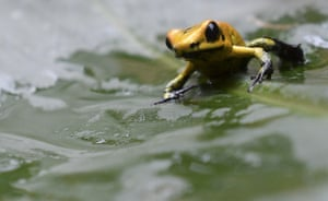 A three-month old Golden Frog (Phyllobates terribilis) at a the laboratory of Santa Fe zoo in Medellin, Colombia. Many species of frogs, including the Golden Frog, the most venomous frog in the world, are in danger of extinction.
