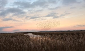 A murmuration of starlings over Otmoor as the twilight rises from the reeds and fields
