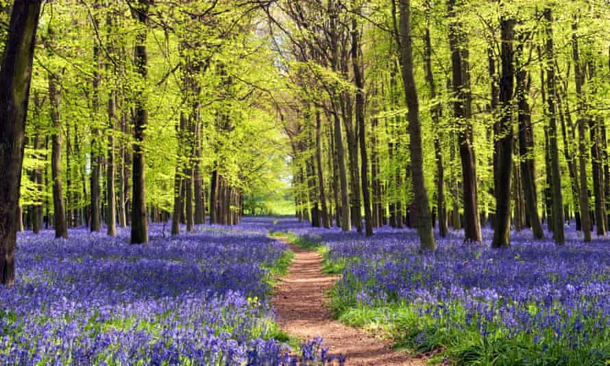 Bluebells and beech trees in Dockey Wood, Ashridge Estate, a National Trust site.