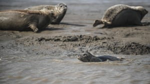 Spotted seals rest on the coastal mudflat of Sandaogou in Panjin, northeast China's Liaoning Province