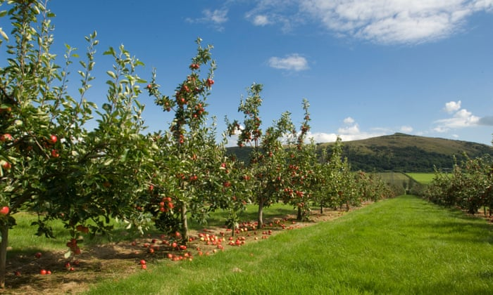'Apples flying everywhere!': a year in the life of a cider orchard