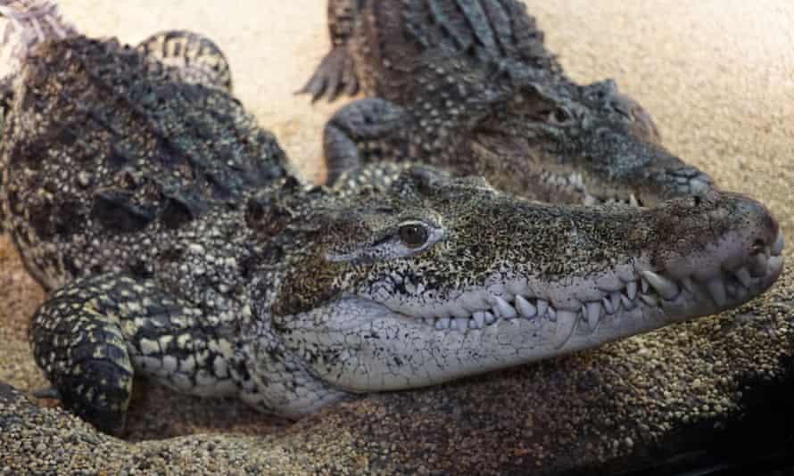 Cuban crocodiles at zoo in Stockholm