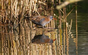 A water rail reflected in water at Northumberland Park in North Tyneside