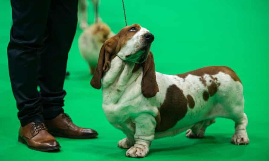 A basset hound at Crufts in 2019.