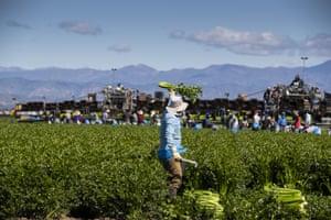 Workers harvest celery in Oxnard, California.